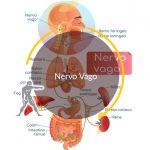 Nervo Vago